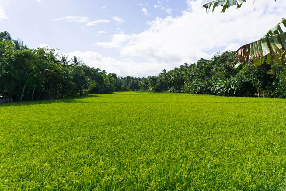 Reisfelder auf Siquijor