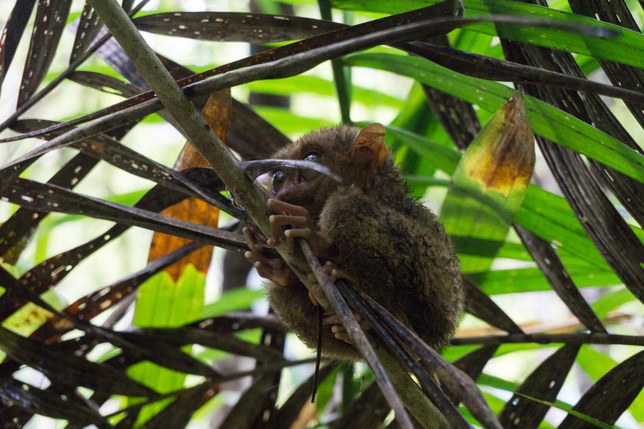 Tarsier - diese niedlichen nicht-Äffchen