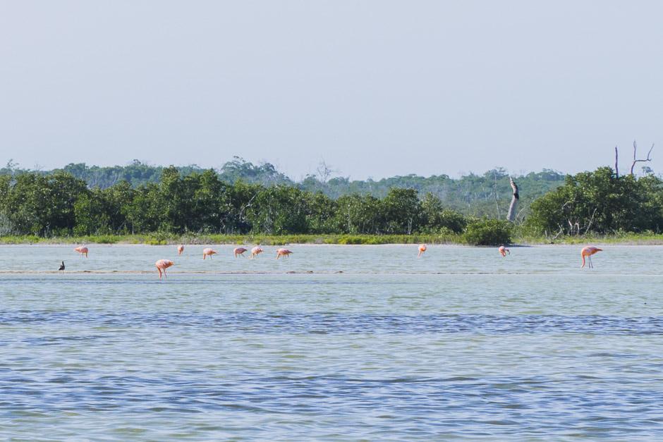 Flamingoherde - aber alle Kopf ins Wasser