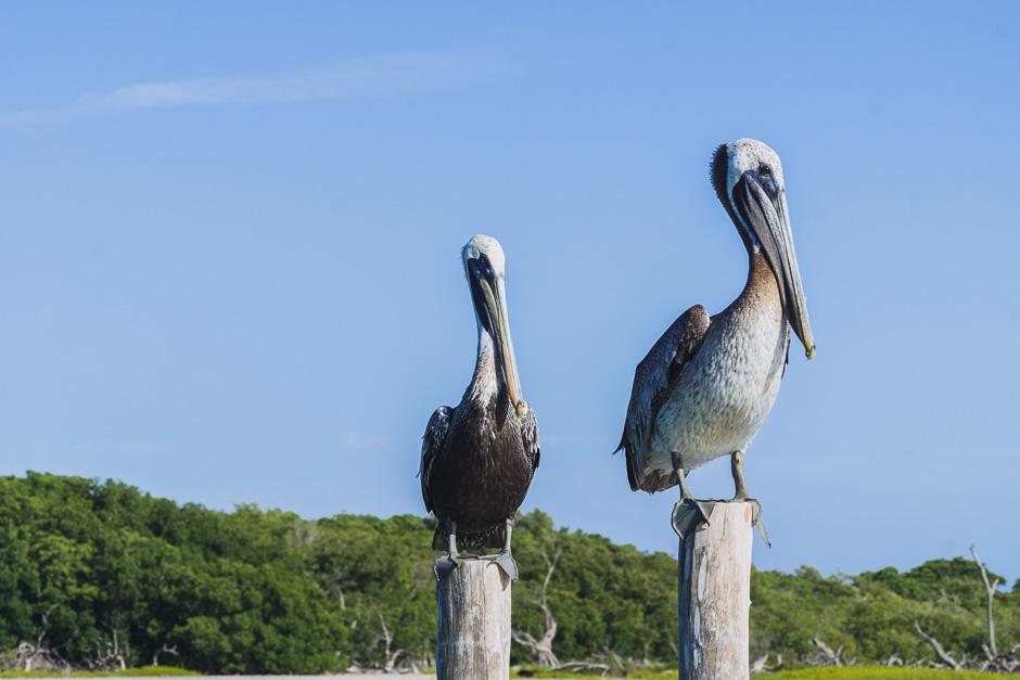 riesige Pelikane in Rio Lagartos