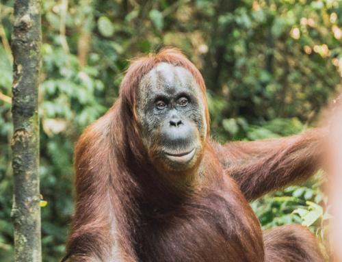 Im Dschungel von Bukit Lawang – auf der Suche nach Orang Utans