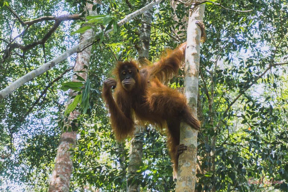 Orang Utan im Jungle von Bukit Lawang