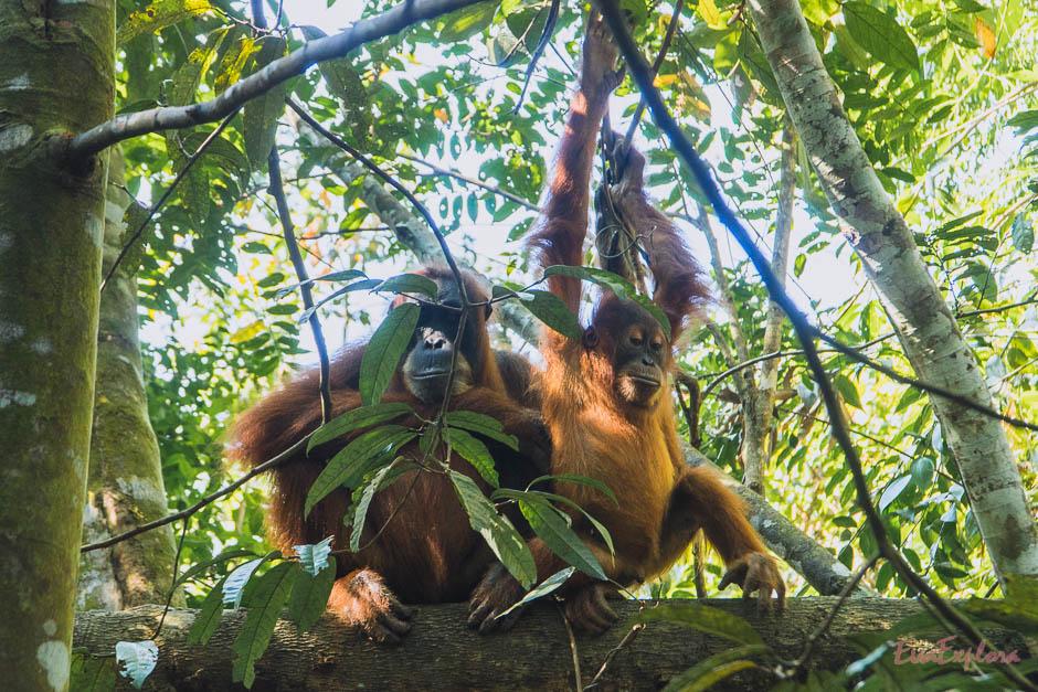 Die ersten Orang Utans auf unserer Tour Mama mit Baby