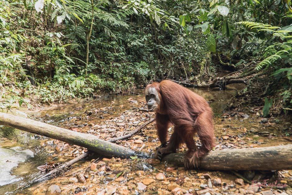So nah kommt man Orang Utans sonst nicht