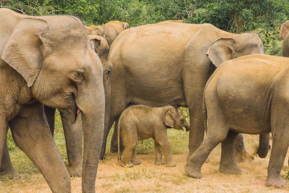 Elefantenbaby im Nationalpark Udawalawe