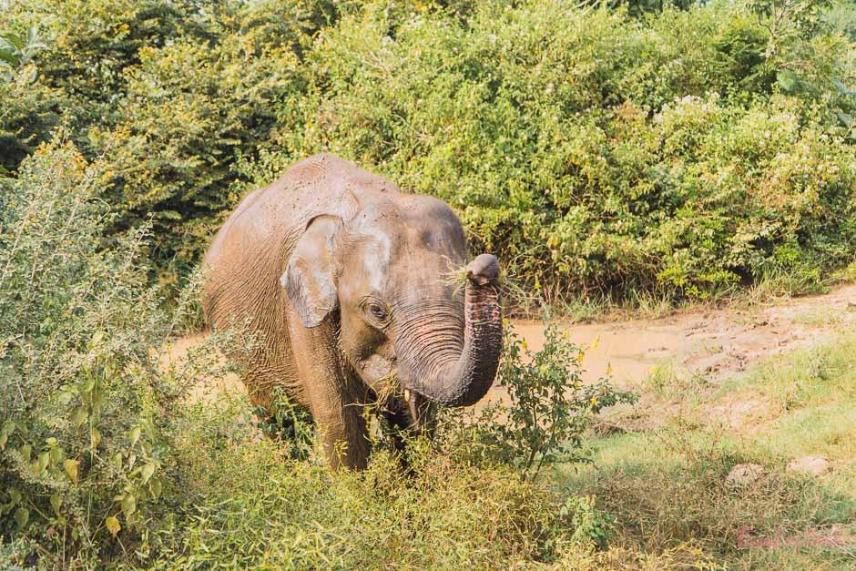 wilde Elefanten auf Sri Lanka