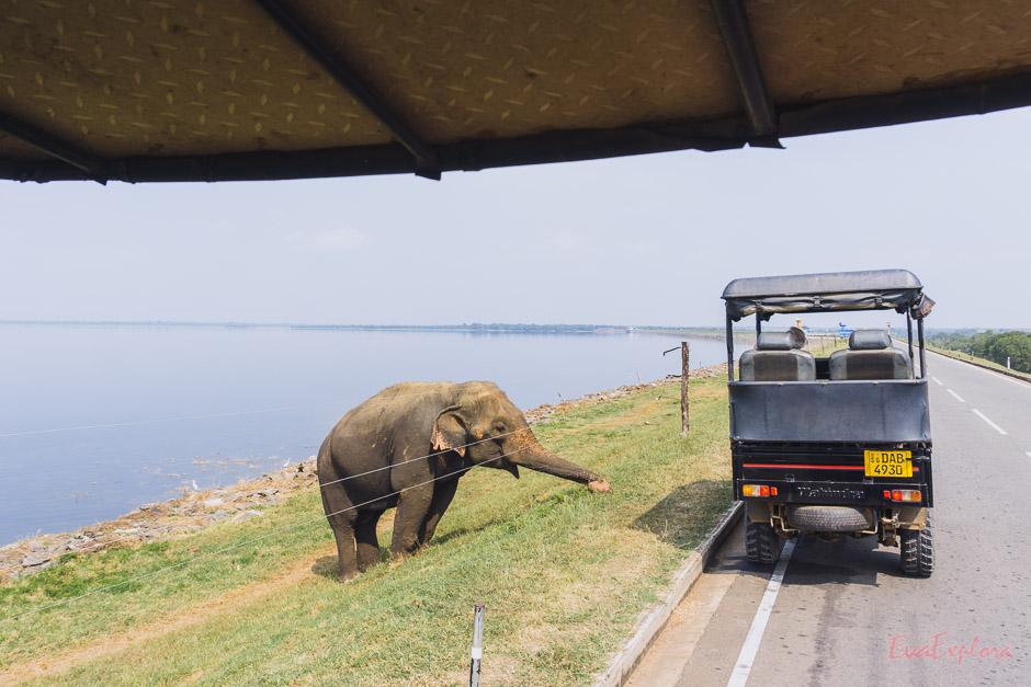 grasender Elefant am Strassenrand auf Sri Lanka