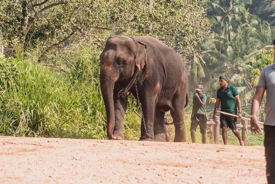 Elefant in Ketten in Pinnawala