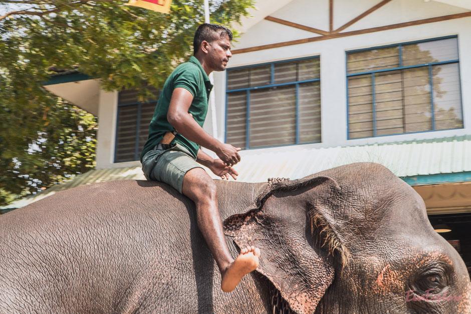 Elefanten Waisenhaus in Pinnawala