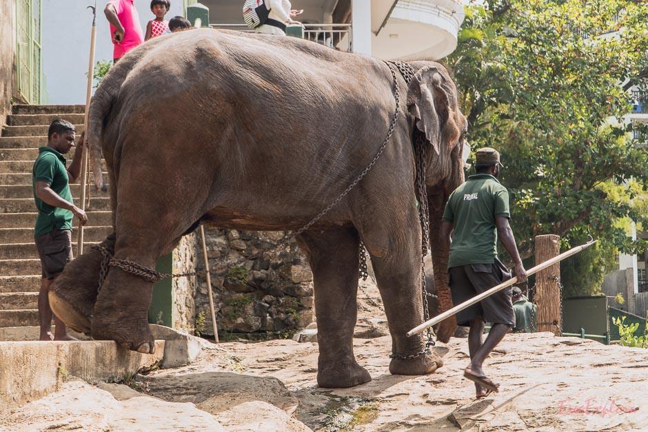 Tierquaelerei an Elefanten in Sri Lanka