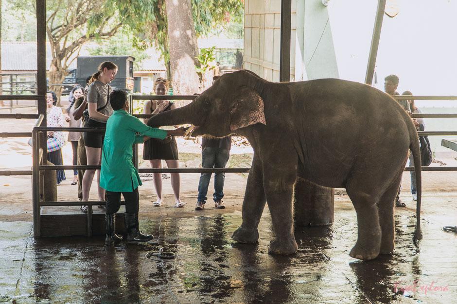 Elefanten fuettern in Pinnawala einfach furchtbar