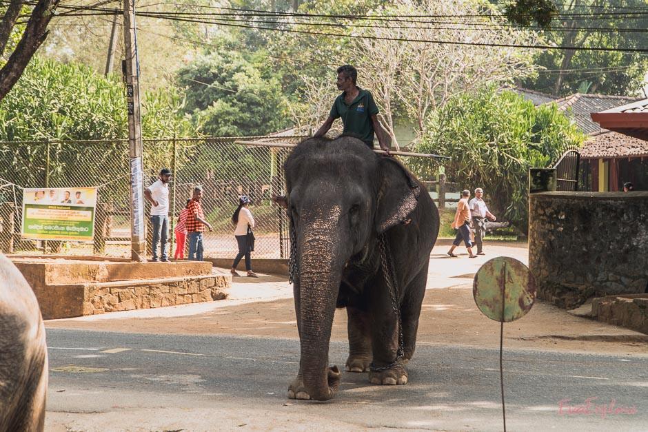 Elefantenreiten in Pinnawala Tierquaelerei im Waisenhaus