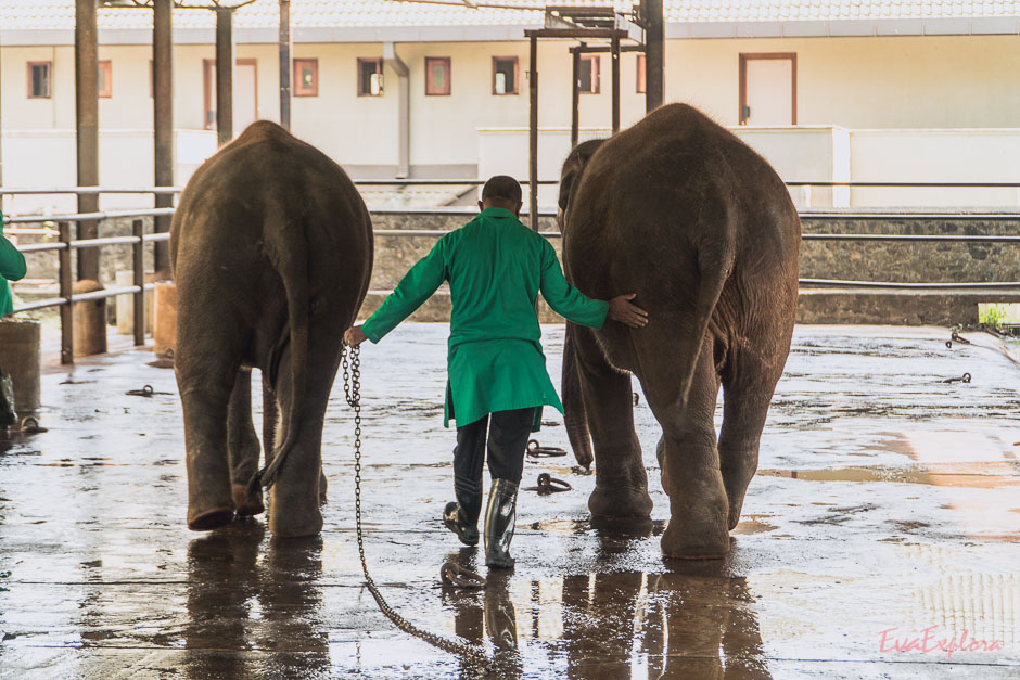 Babyelefanten auf Sri Lanka