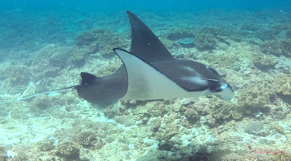 Mantaray Nusa Penida