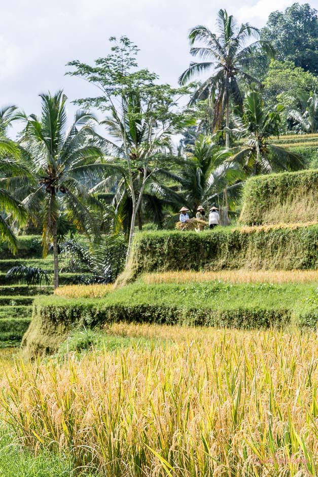 Reisterrassen nahe Ubud