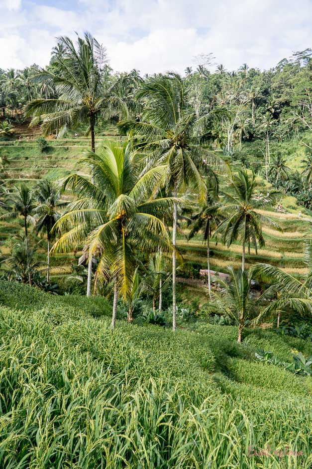 malerische Reisterrassen Bali
