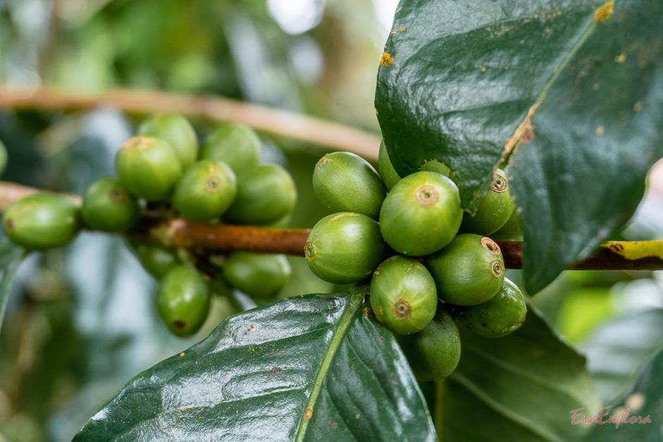 Kaffee auf Bali
