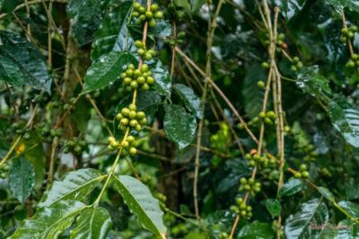 Sehenswuerdigkeiten Bali Kaffeeplantage