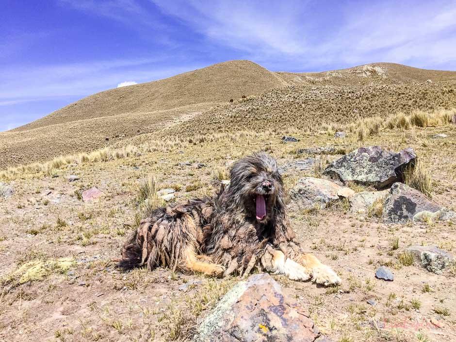 Hund in Bolivien