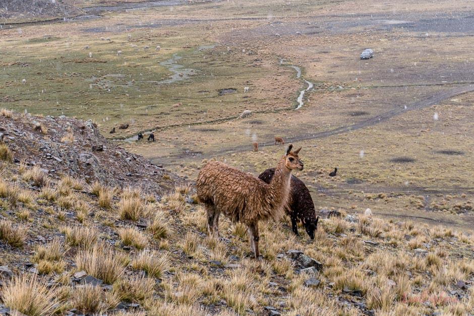 Lamas am Berg