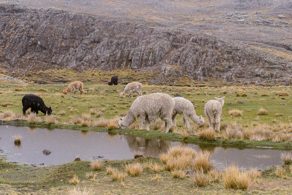 Alpakas in Bolivien