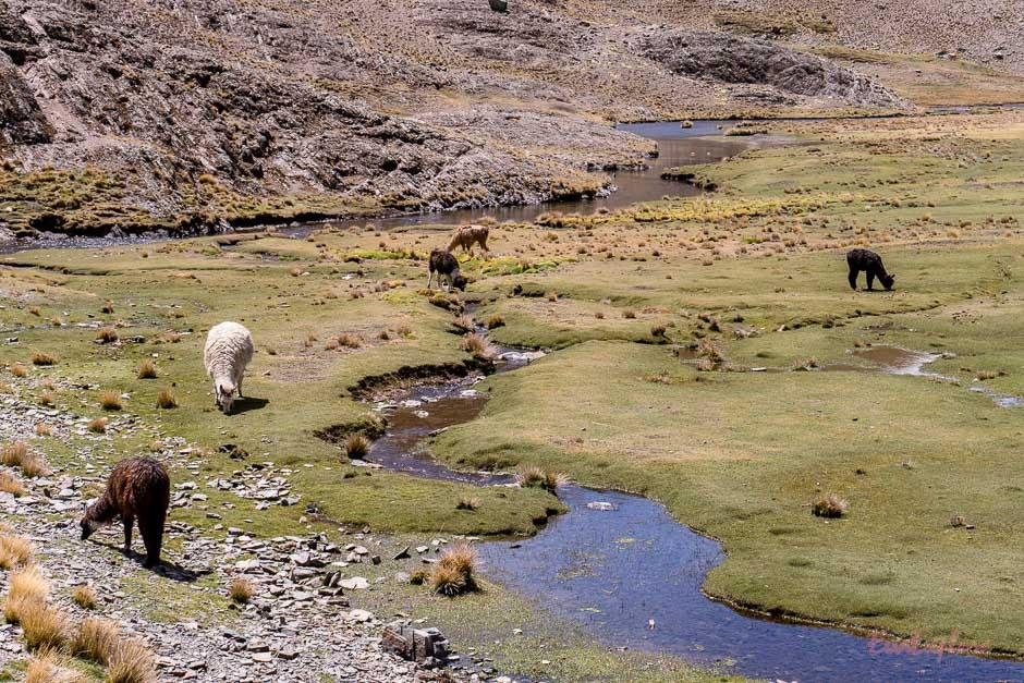 Alpakas grasen am Bach