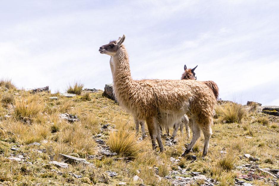 Alpaka in Bolivien