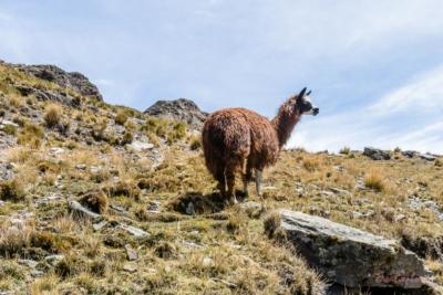 Alpaka am Berg