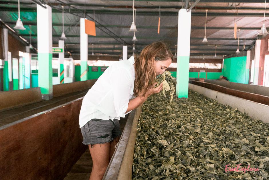 frischer Tee auf Sri Lanka ist magisch