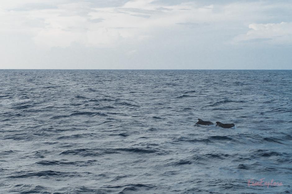 Grindwale und Delphine