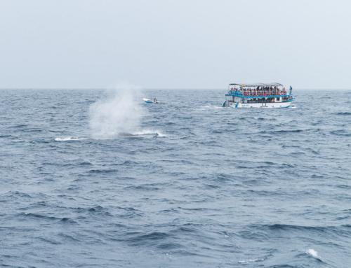 Whale Watching in Sri Lanka: an der Südküste Wale beobachten
