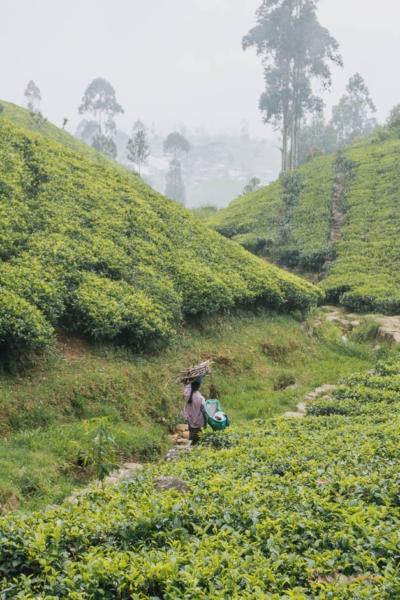 Arbeiterin auf Teeplantage