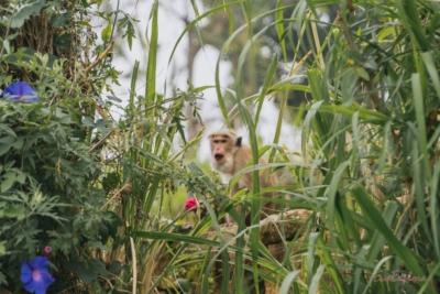 Affe auf Sri Lanka