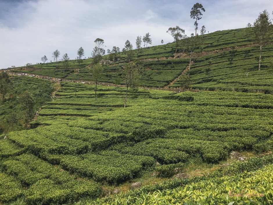 Teeplantagen Haputale