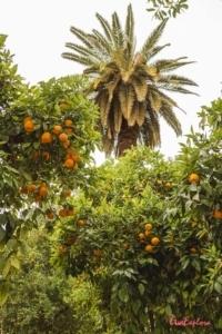 Orangenbaeume in Marrakesch