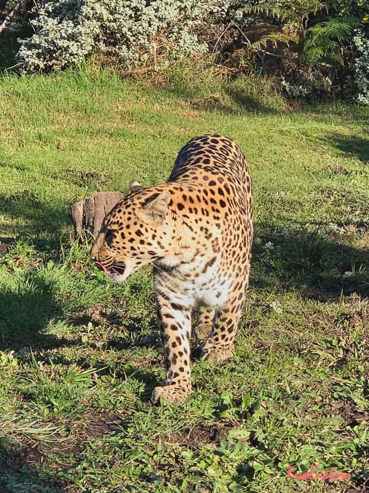 Leopard Suedafrika