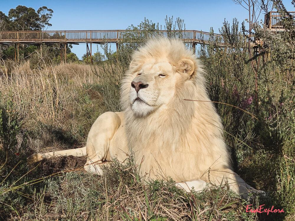 weisser Loewe Suedafrika