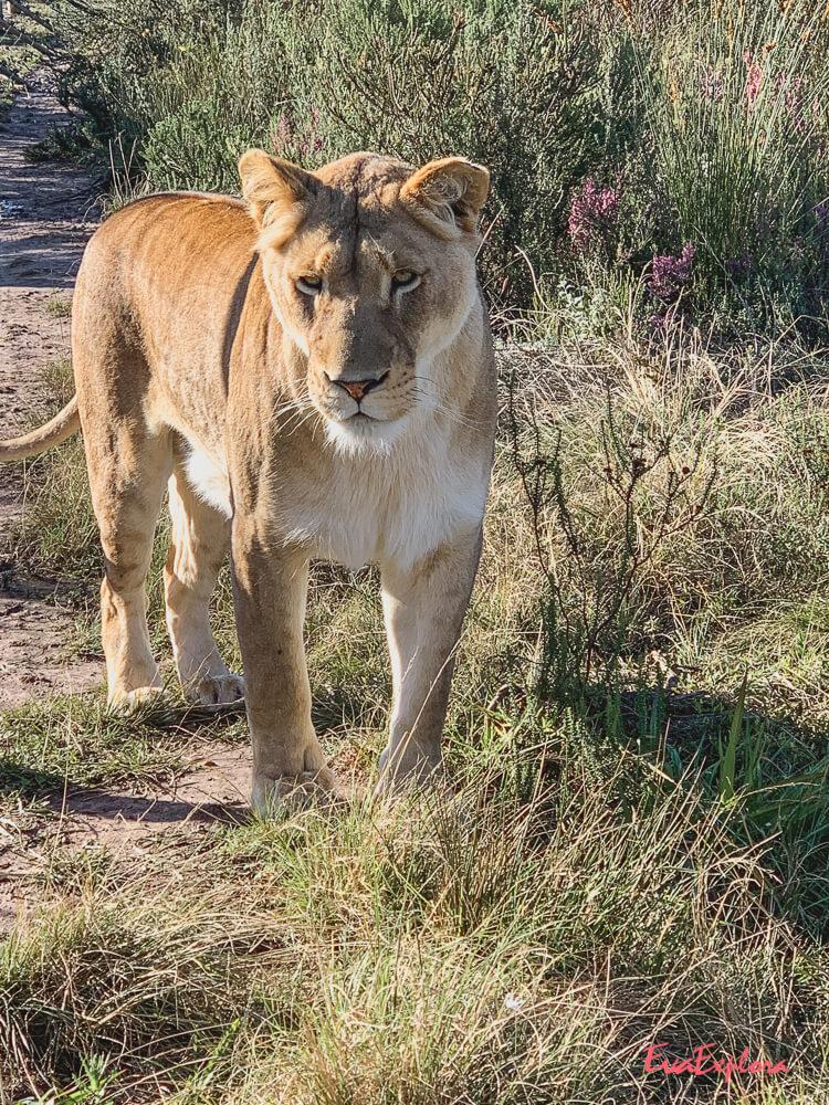 Loewin Suedafrika