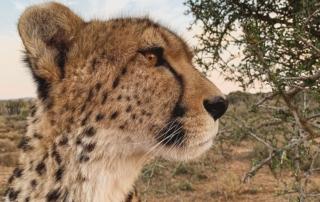 Gepard Suedafrika