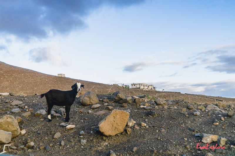 Ziege Wappentier von Fuerteventura