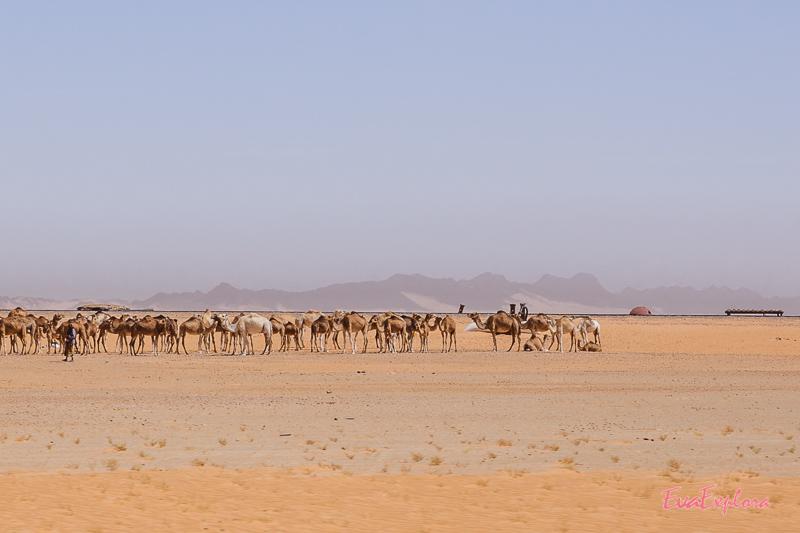Dromedar Herde Mauretanien