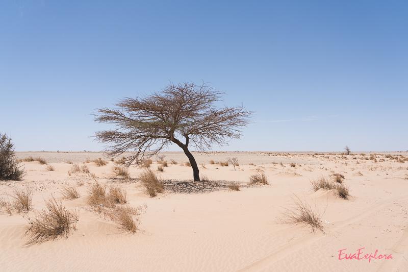 Baum in der Sahara