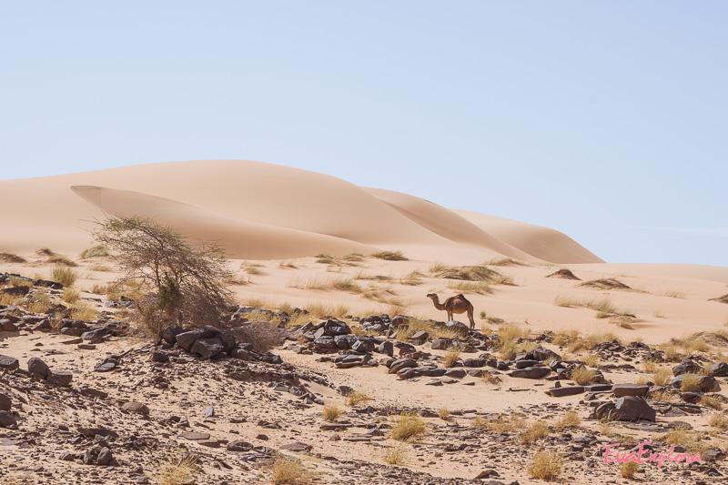 Dromedar Sahara