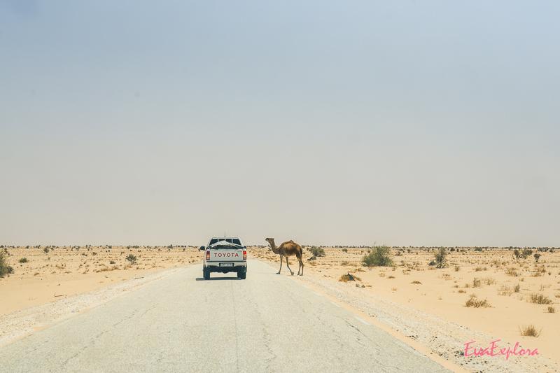 Dromedar und Auto