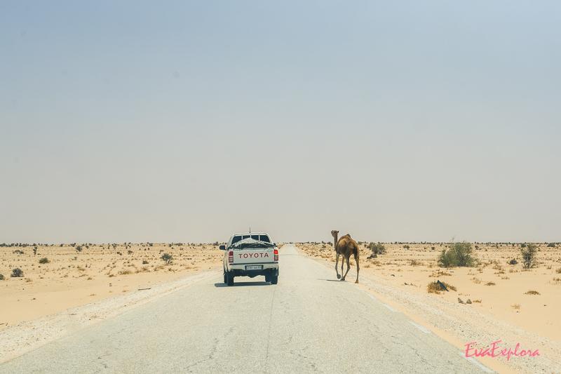 Kamel auf Straße