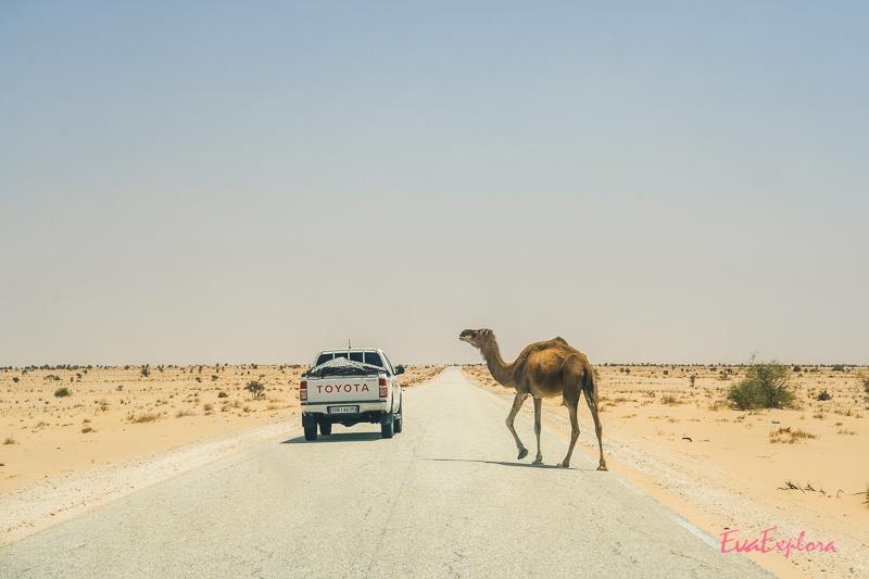 Dromedar Wüste Mauretanien
